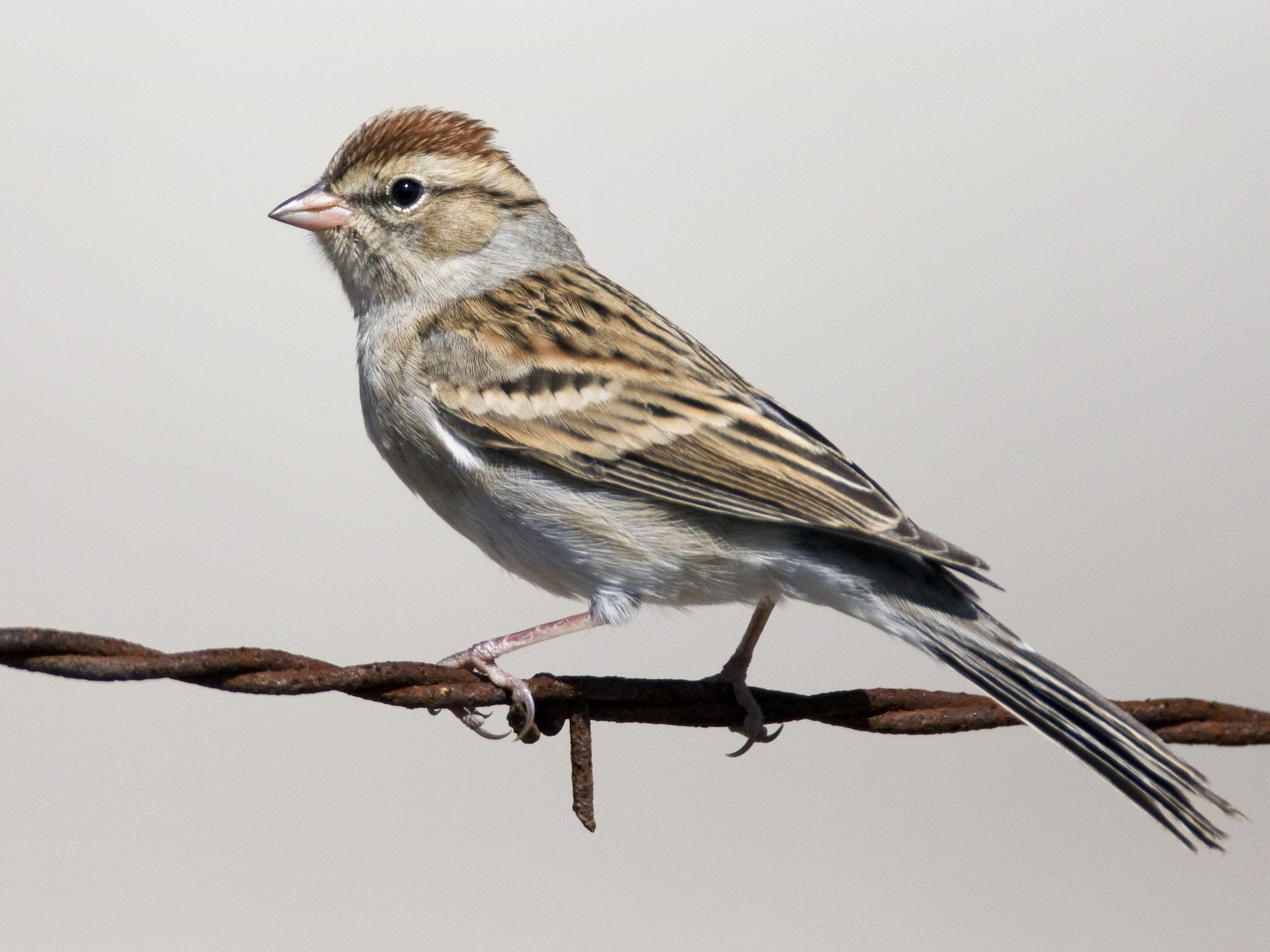 Chipping Sparrow - Brian Sullivan