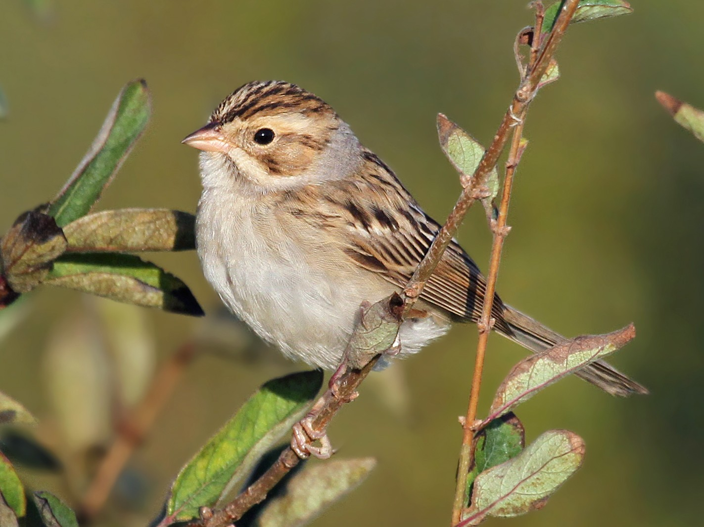 Clay-colored Sparrow - Ryan Schain