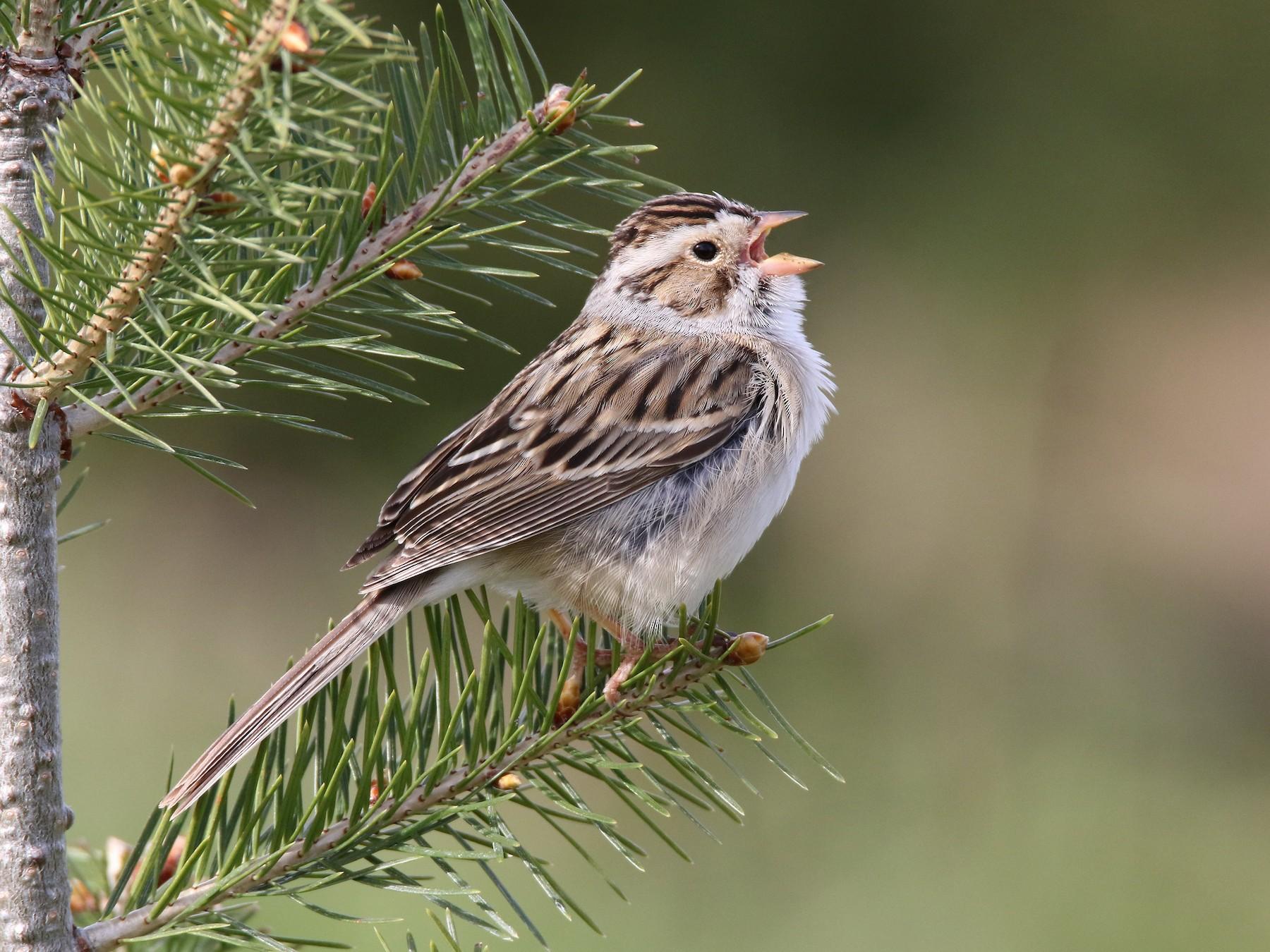 Clay-colored Sparrow - Brad Carlson