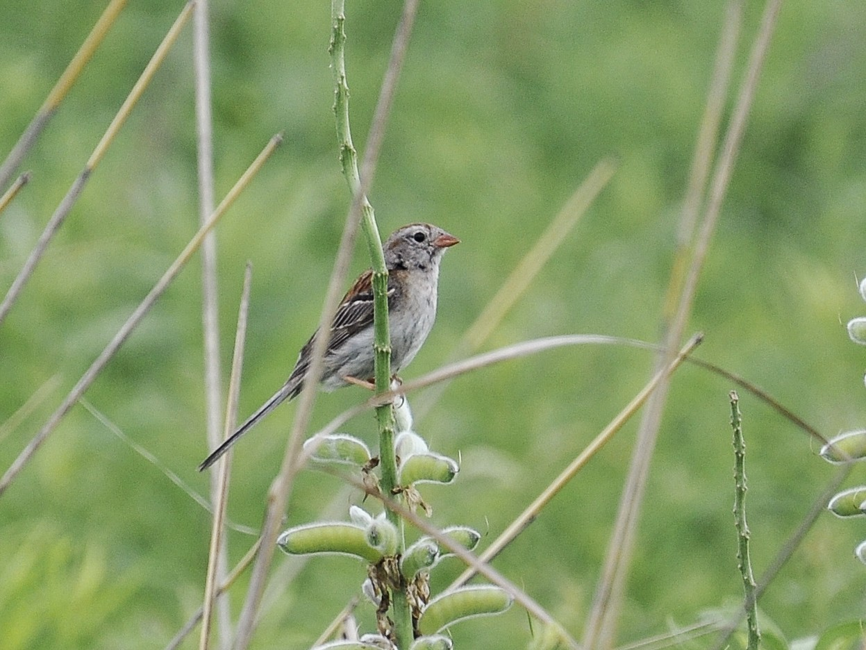 Field Sparrow - Paul Galvin