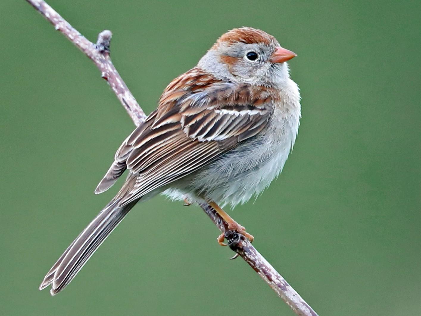 Field Sparrow - Daniel Jauvin