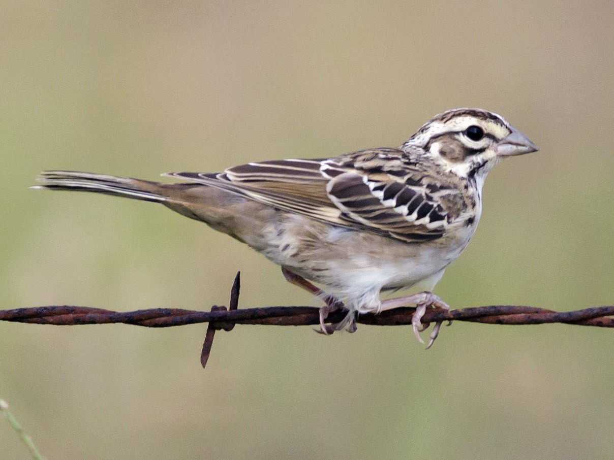 Lark Sparrow - Neil Diaz