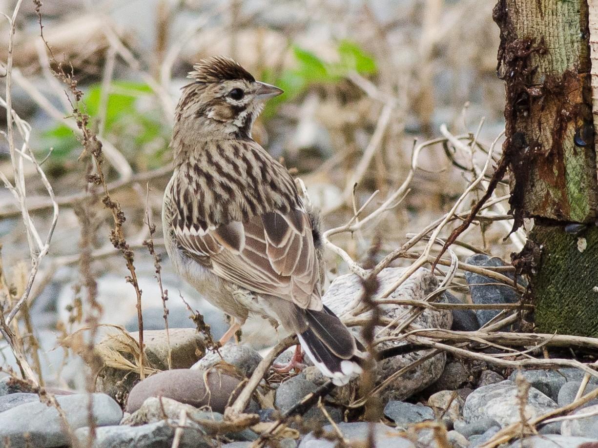 Lark Sparrow - Alix d'Entremont