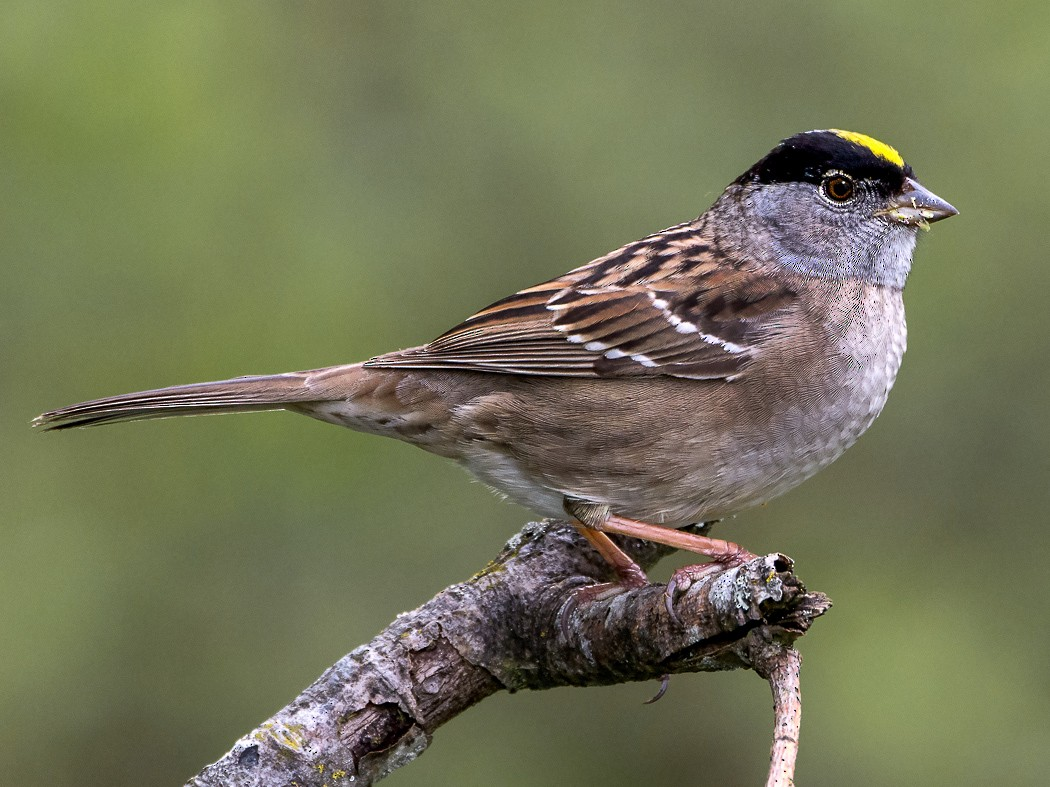 Golden-crowned Sparrow - George Pagos