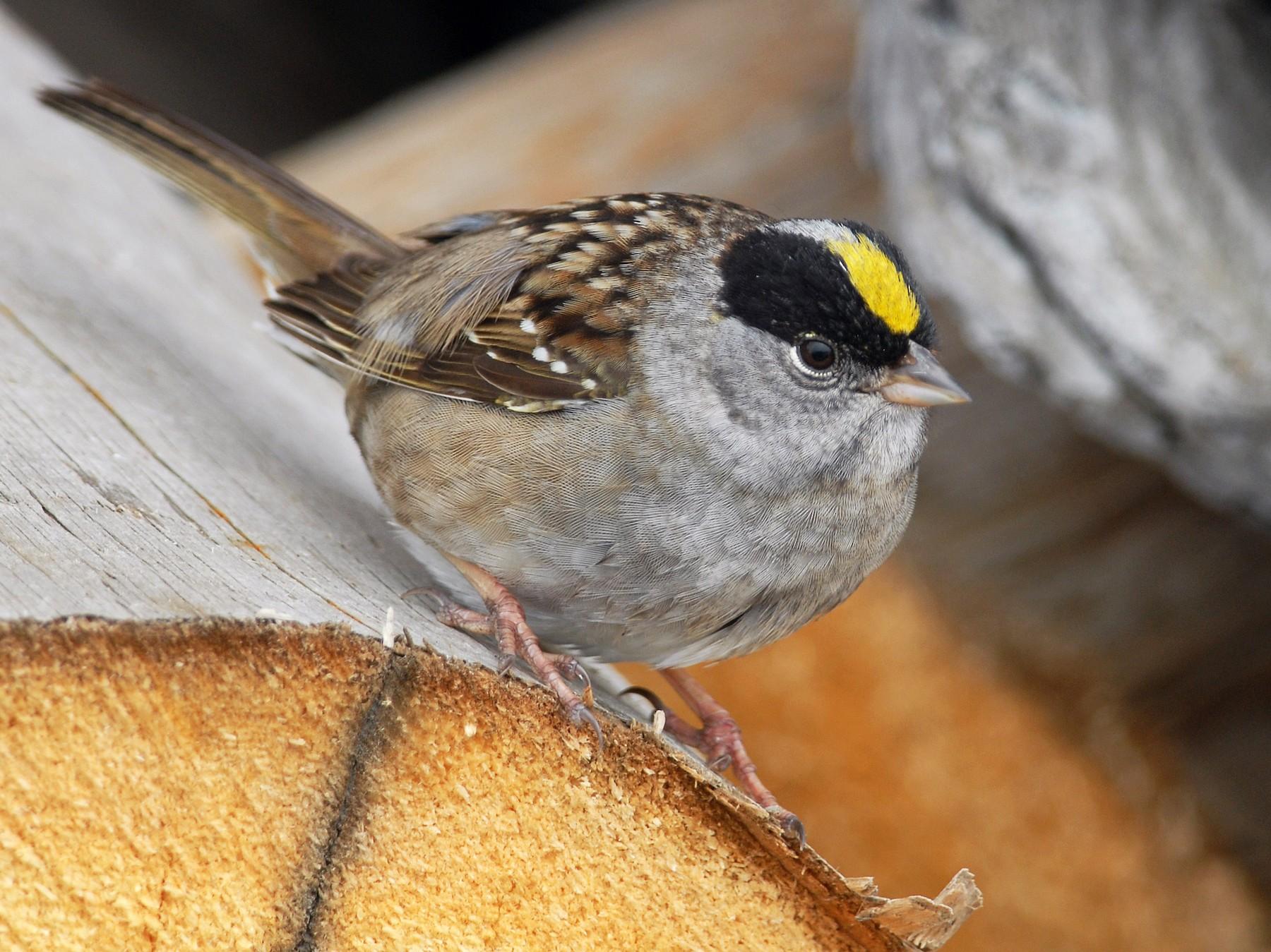 Golden-crowned Sparrow - Cameron Eckert