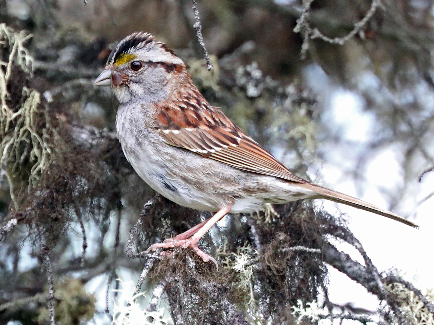 White-throated Sparrow - Daniel Jauvin