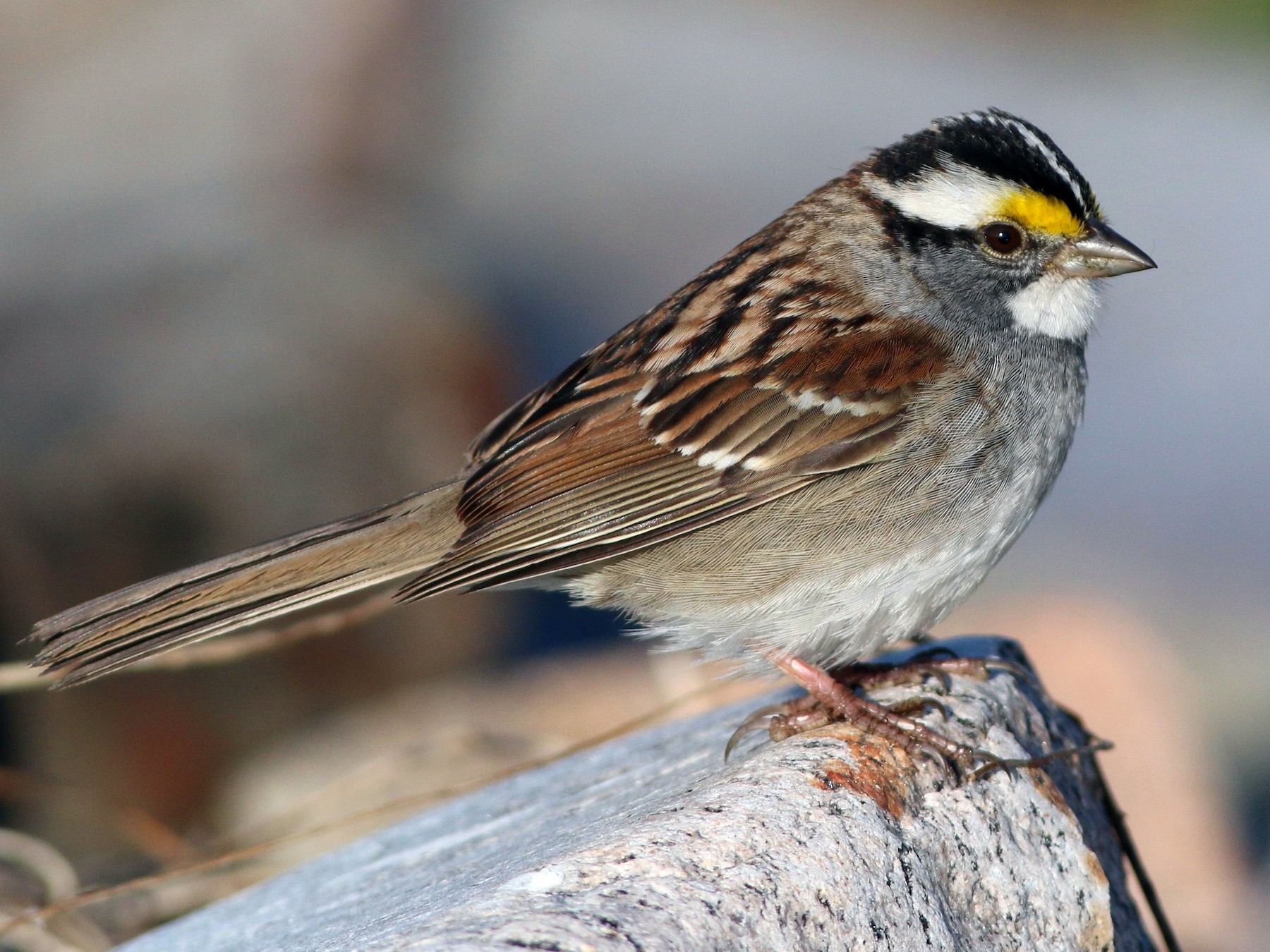 White-throated Sparrow - Keenan Yakola