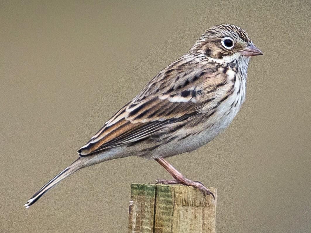 Vesper Sparrow - John Reynolds