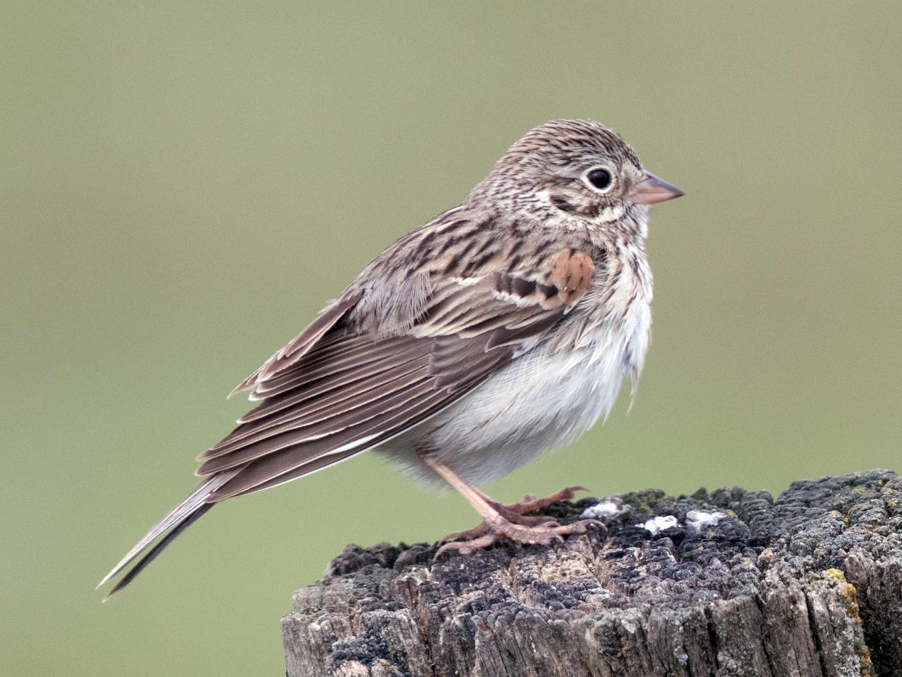 Vesper Sparrow - Steve Kelling