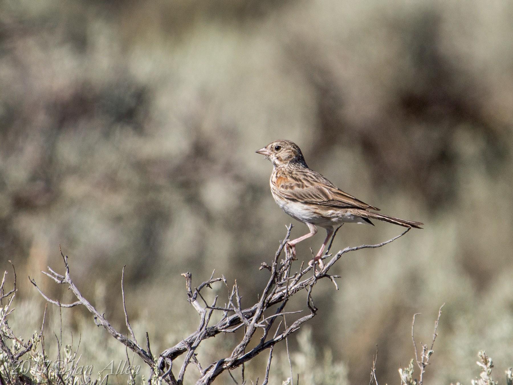 Vesper Sparrow - Jan Allen