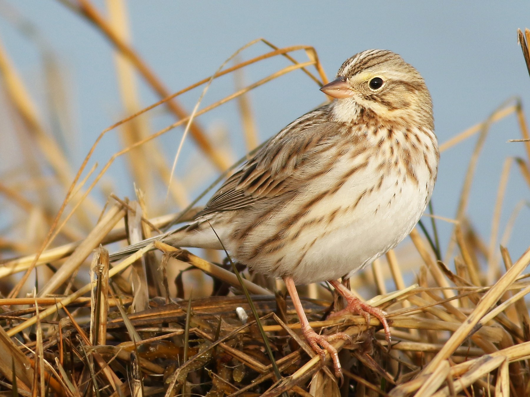 Savannah Sparrow - Evan Lipton