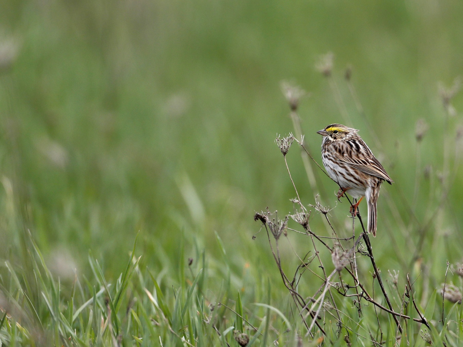 Savannah Sparrow - Jay McGowan