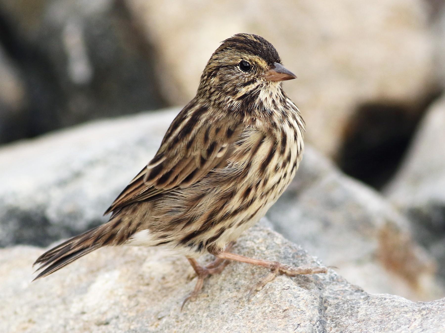 Savannah Sparrow - Luke Seitz
