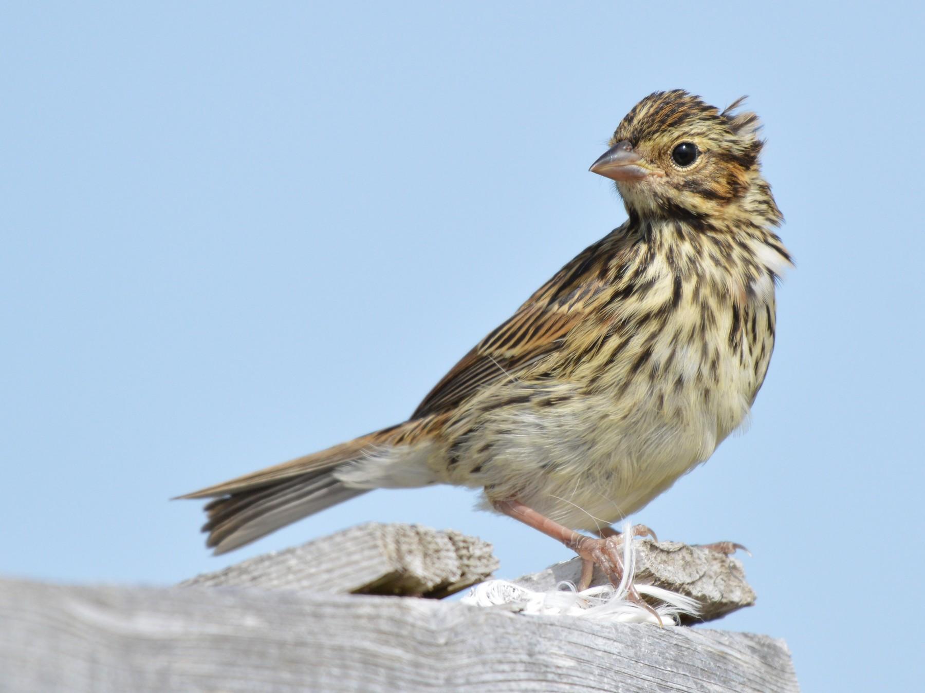 Savannah Sparrow - Kathy Marche