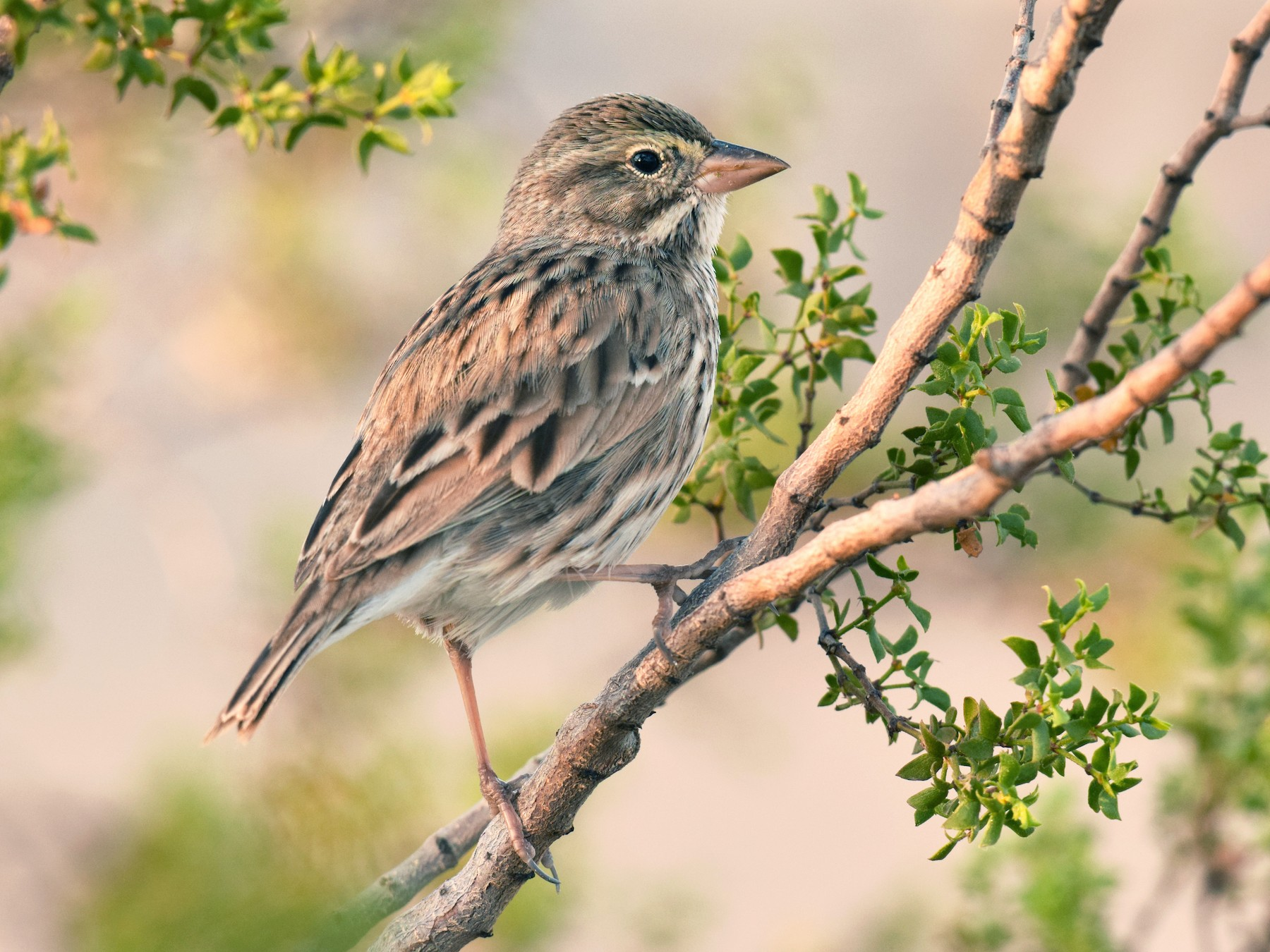 Savannah Sparrow - Ryan O'Donnell