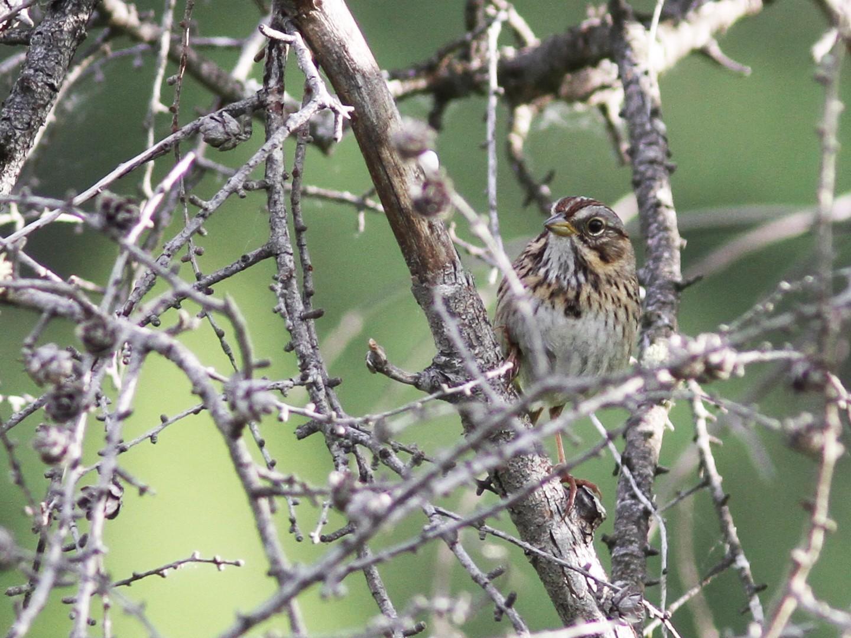 Lincoln's Sparrow - Daniel Jauvin