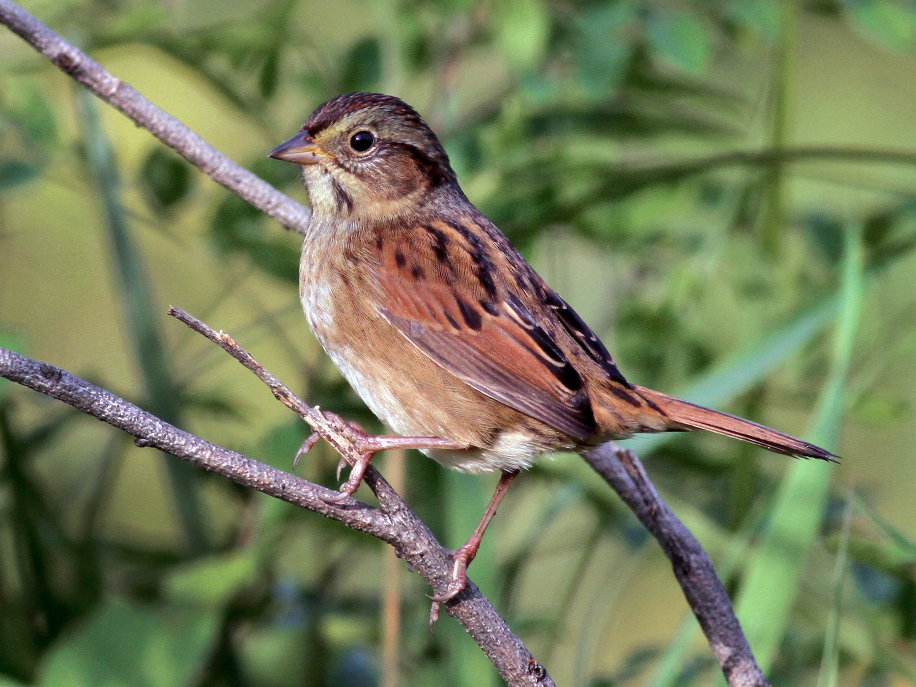 Swamp Sparrow - Jay McGowan