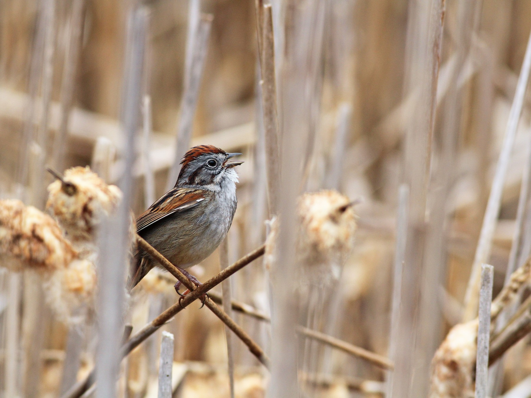 Swamp Sparrow - Evan Lipton