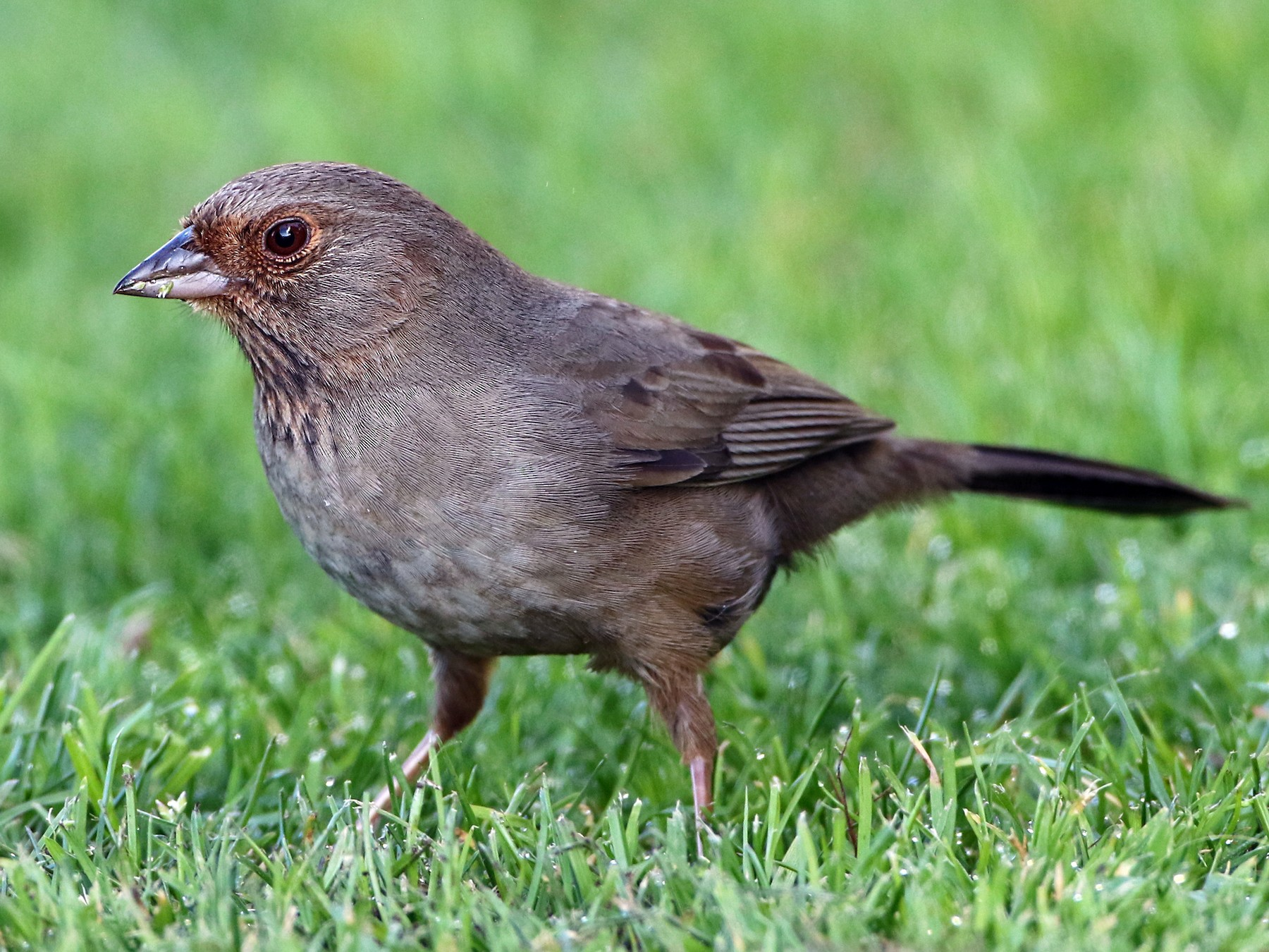 California Towhee - Luke Seitz