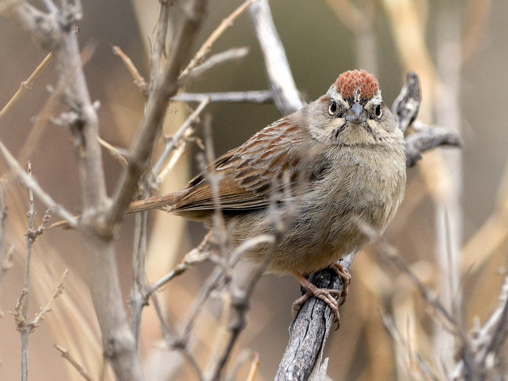 Rufous-crowned Sparrow - Heather Pickard