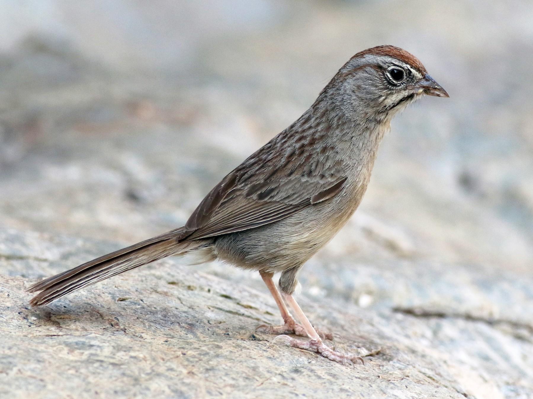 Rufous-crowned Sparrow - Jay McGowan