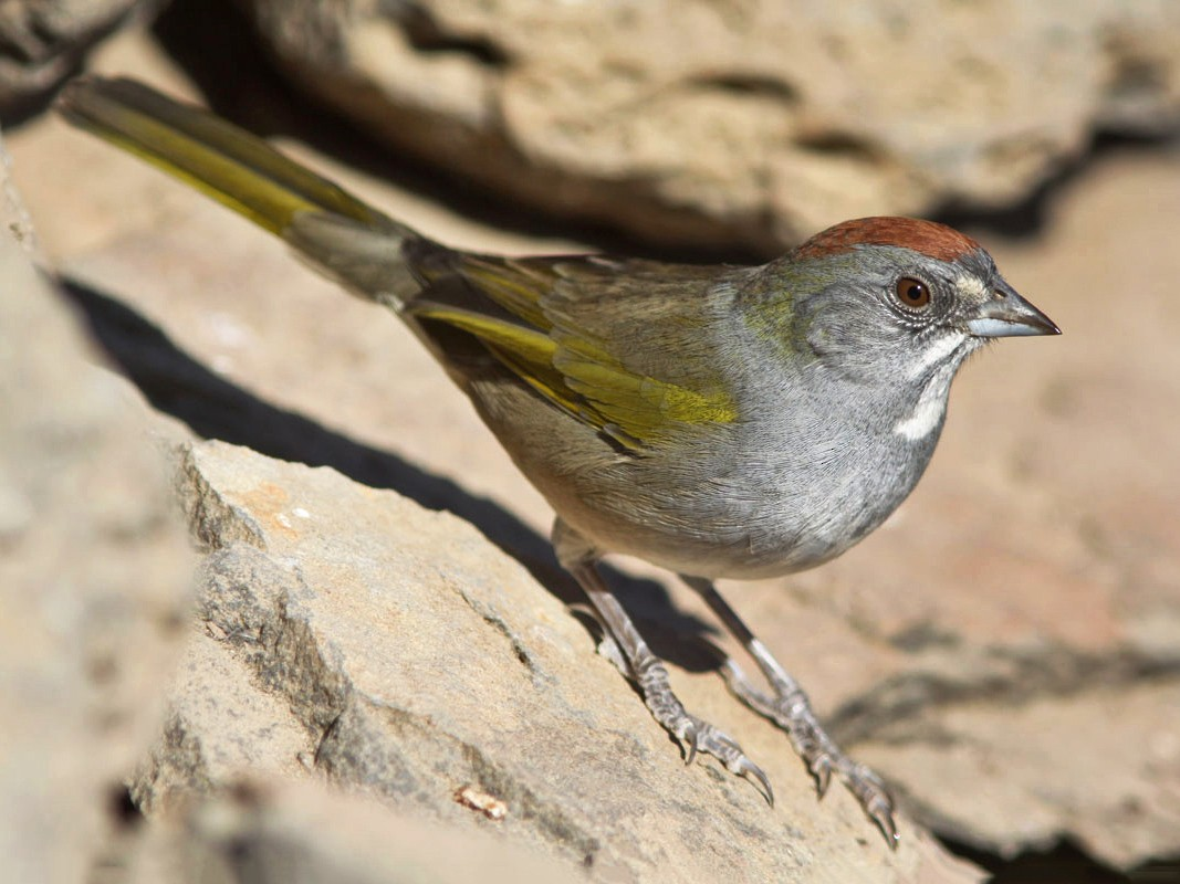 Green-tailed Towhee - Noah Strycker