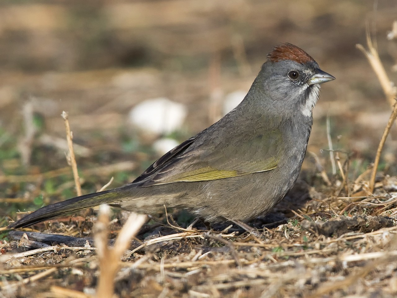Green-tailed Towhee - Dave Furseth