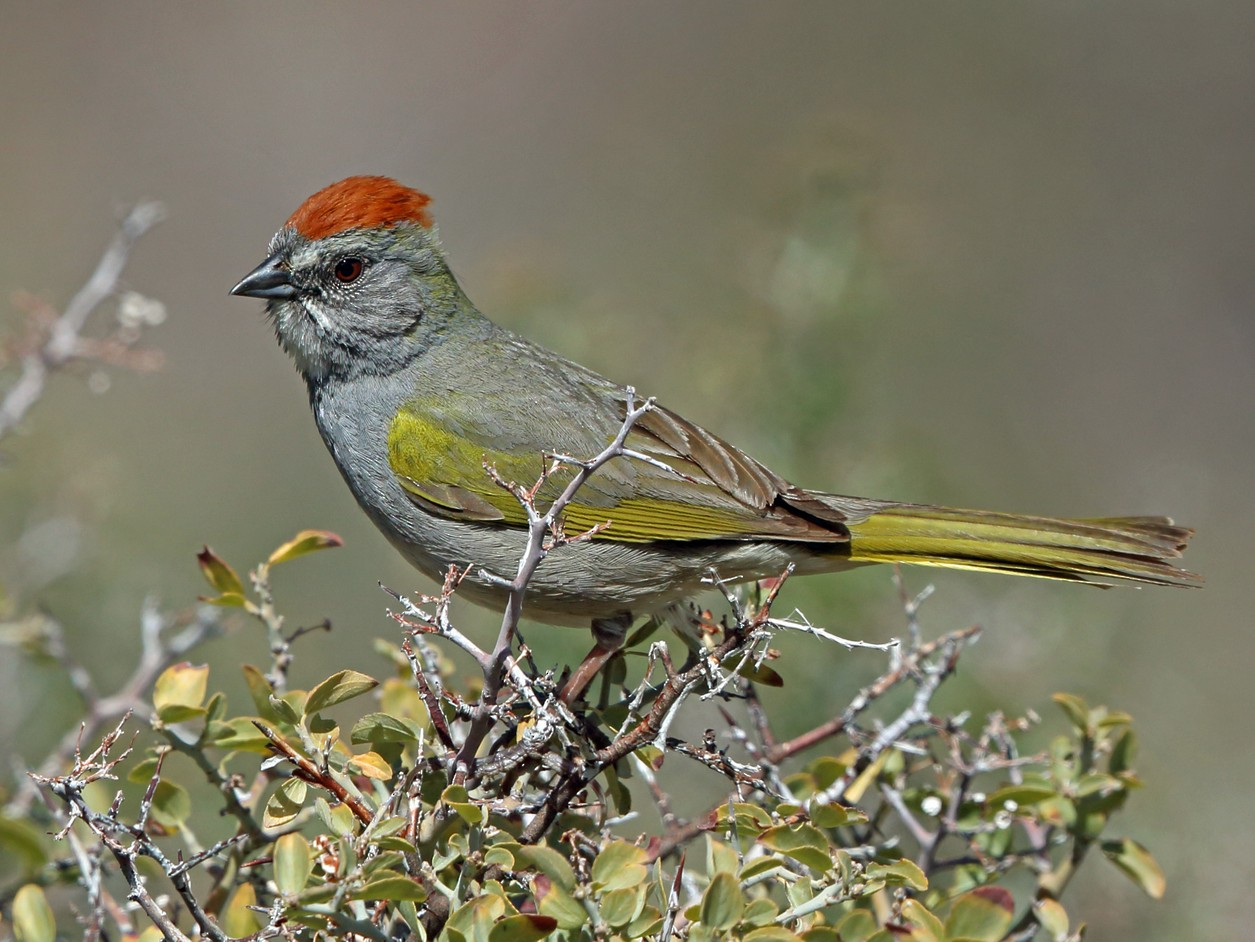 Green-tailed Towhee - Nigel Voaden