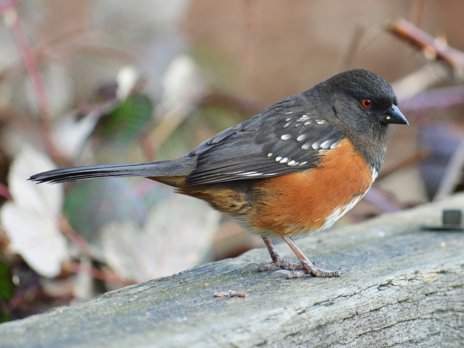 Spotted Towhee - Alice Domalik