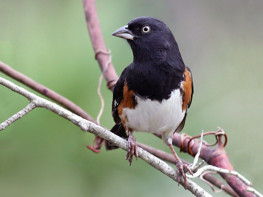 Eastern Towhee - Paul Hueber