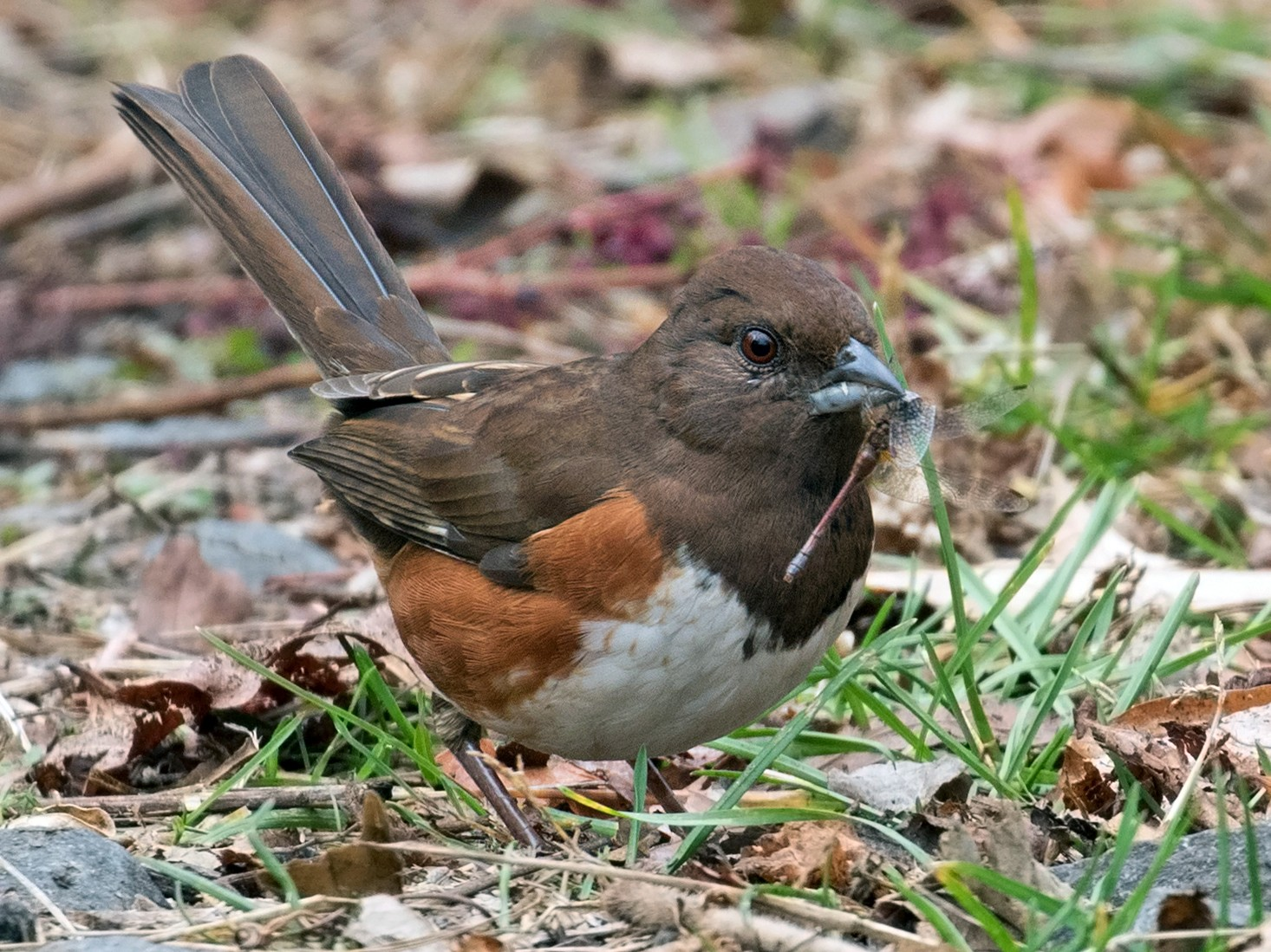 Eastern Towhee - Mark R Johnson