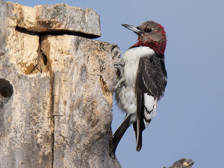 Red-headed Woodpecker - David Turgeon