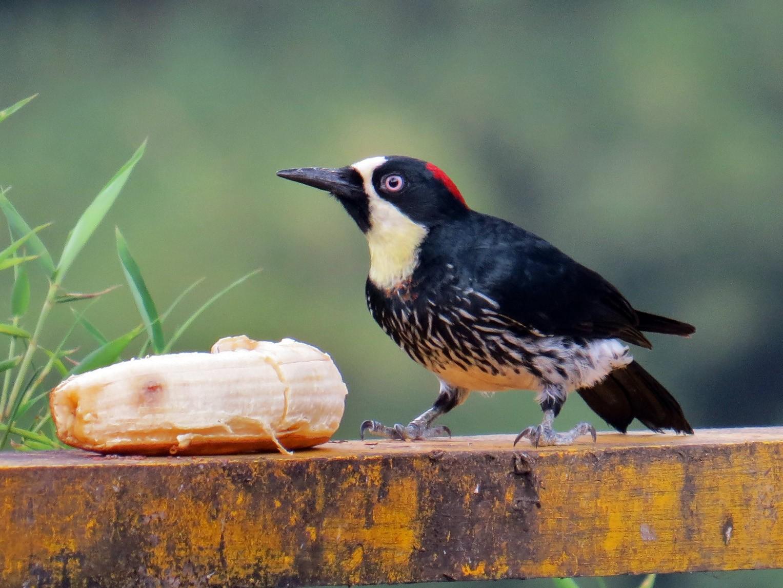 Acorn Woodpecker - Kevin Groeneweg
