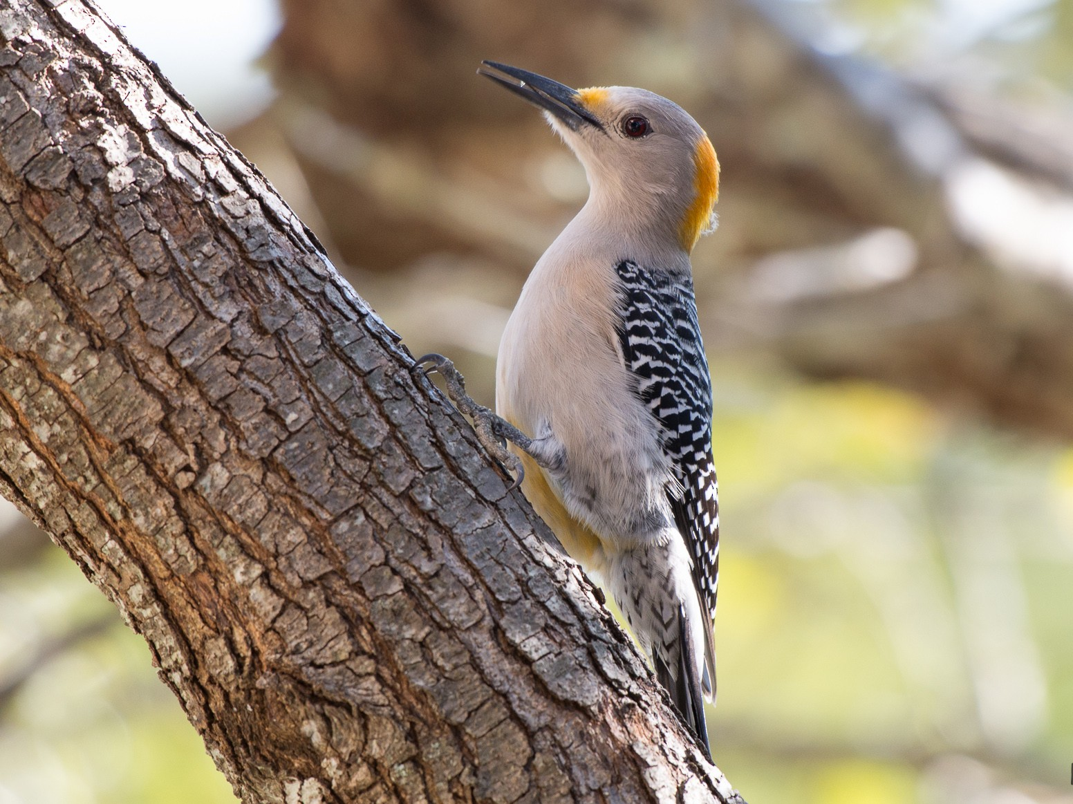 Golden-fronted Woodpecker - Suzie McCann