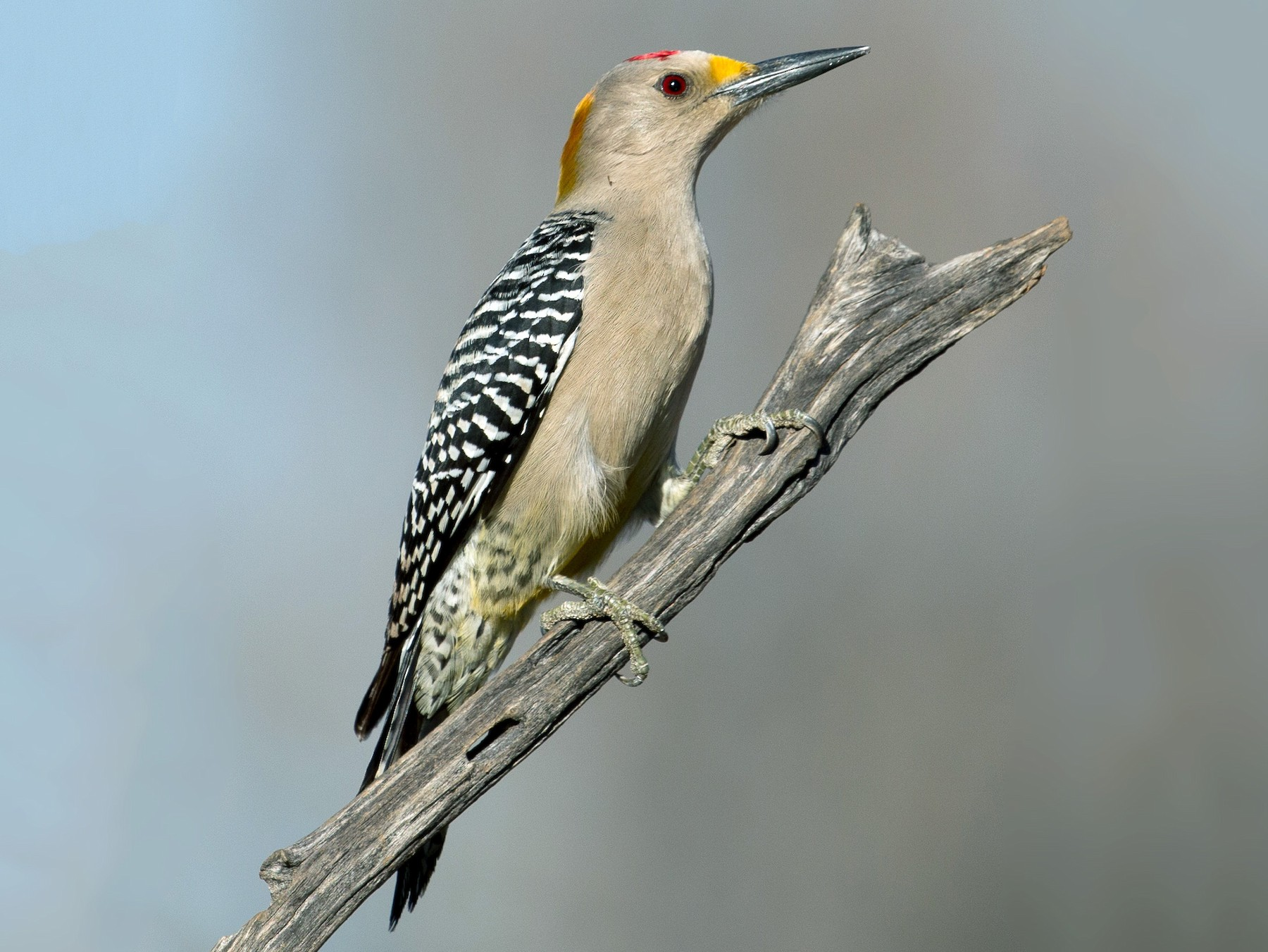Golden-fronted Woodpecker - Guillermo Lopez