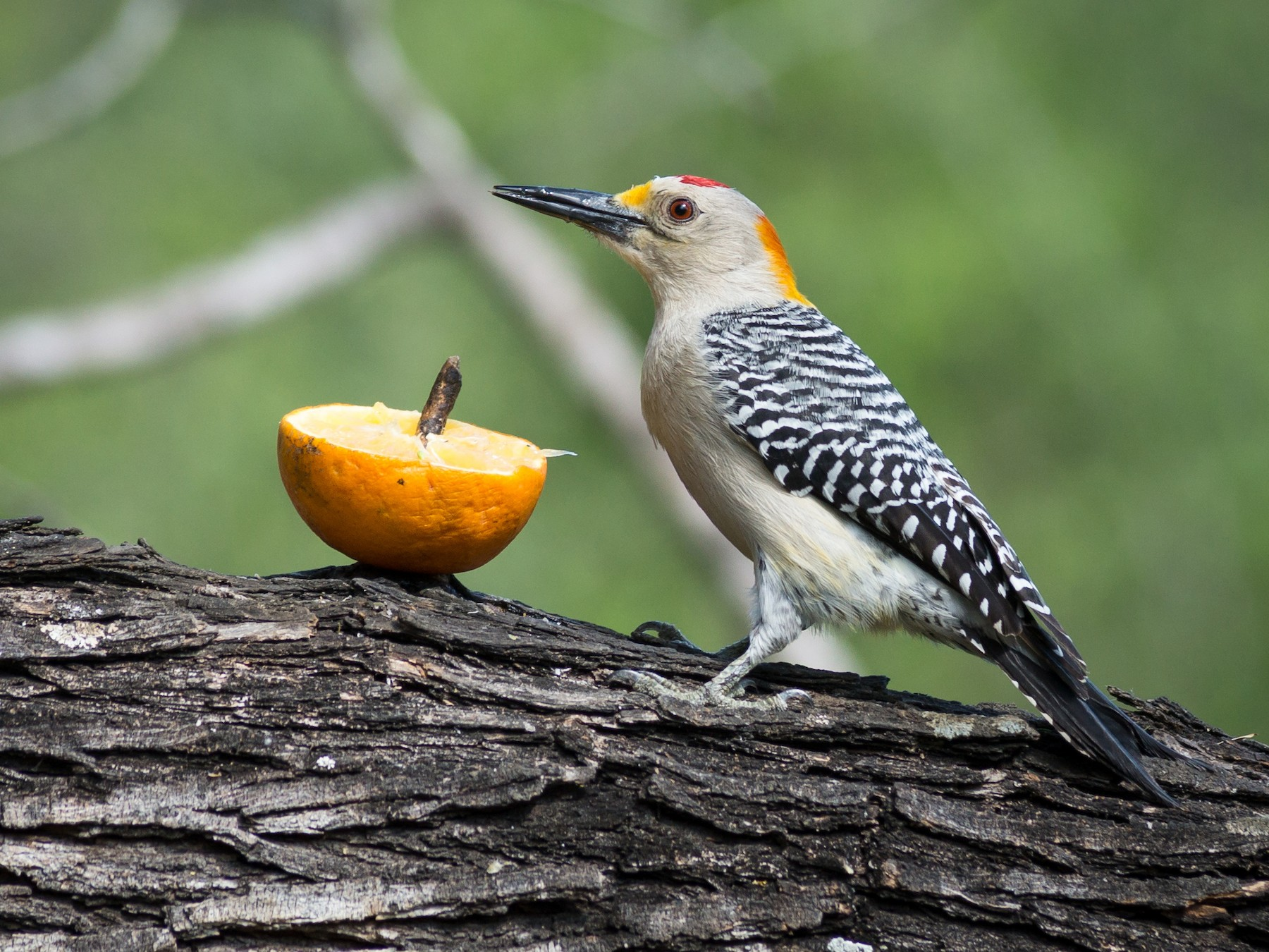 Golden-fronted Woodpecker - Becca Engdahl