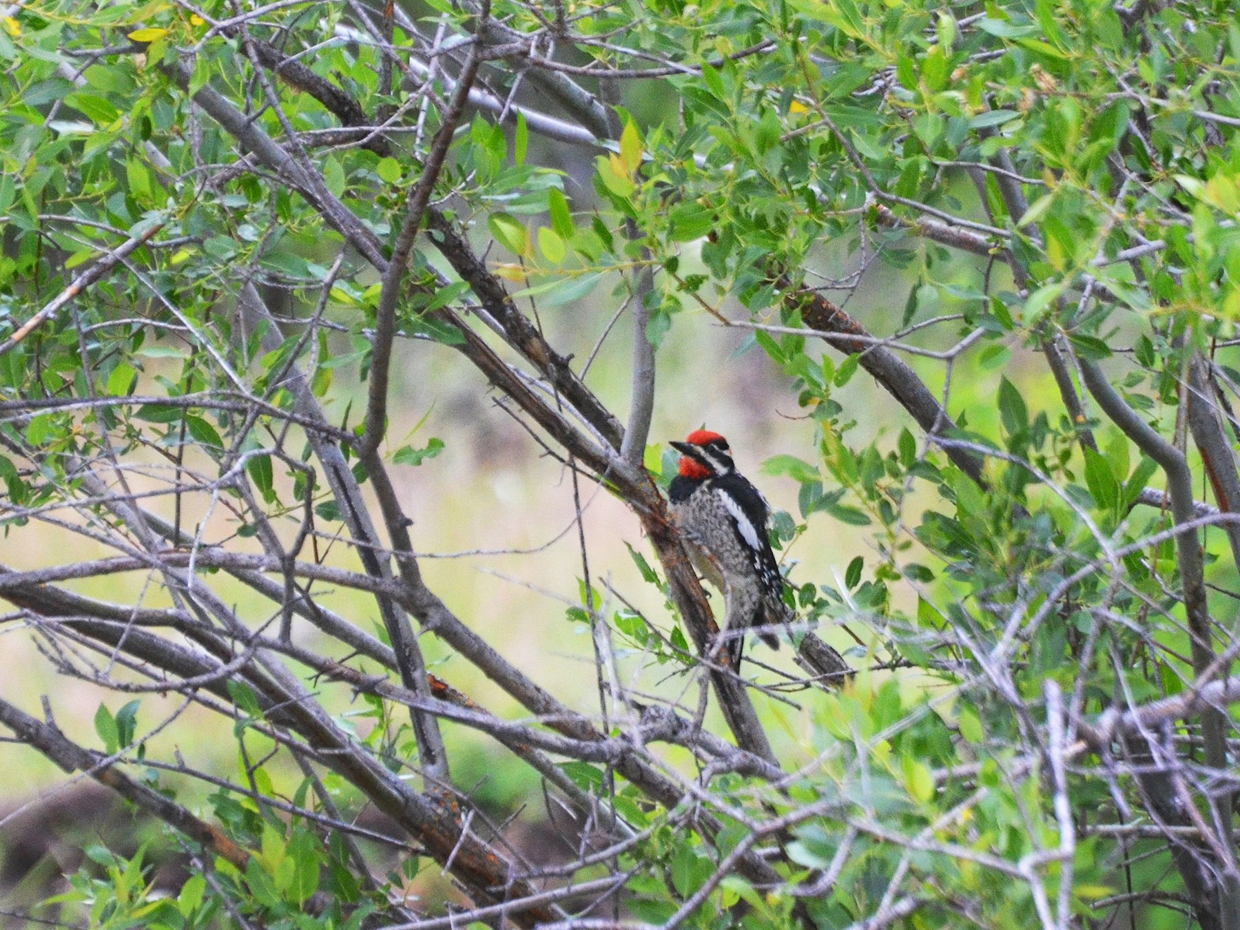 Red-naped Sapsucker - Carol Riddell