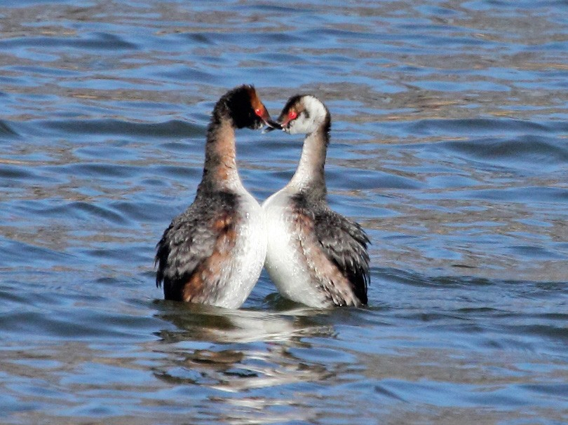 Horned Grebe - Jeff Bryant
