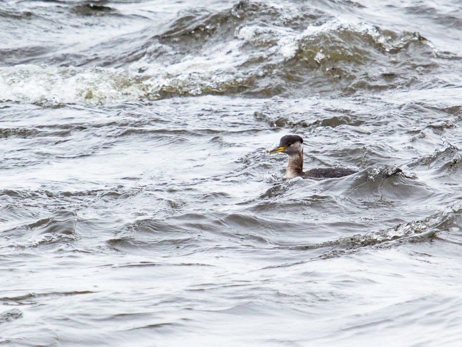 Red-necked Grebe - Louise Auclair