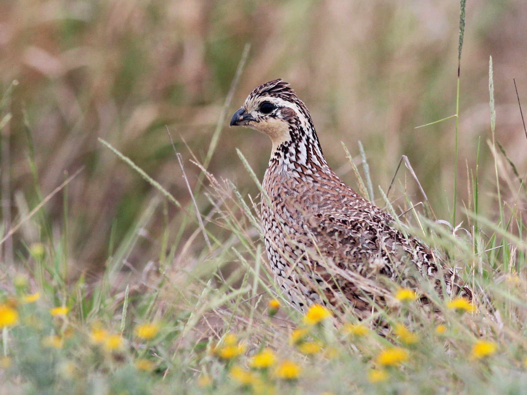 Northern Bobwhite - Shawn Billerman