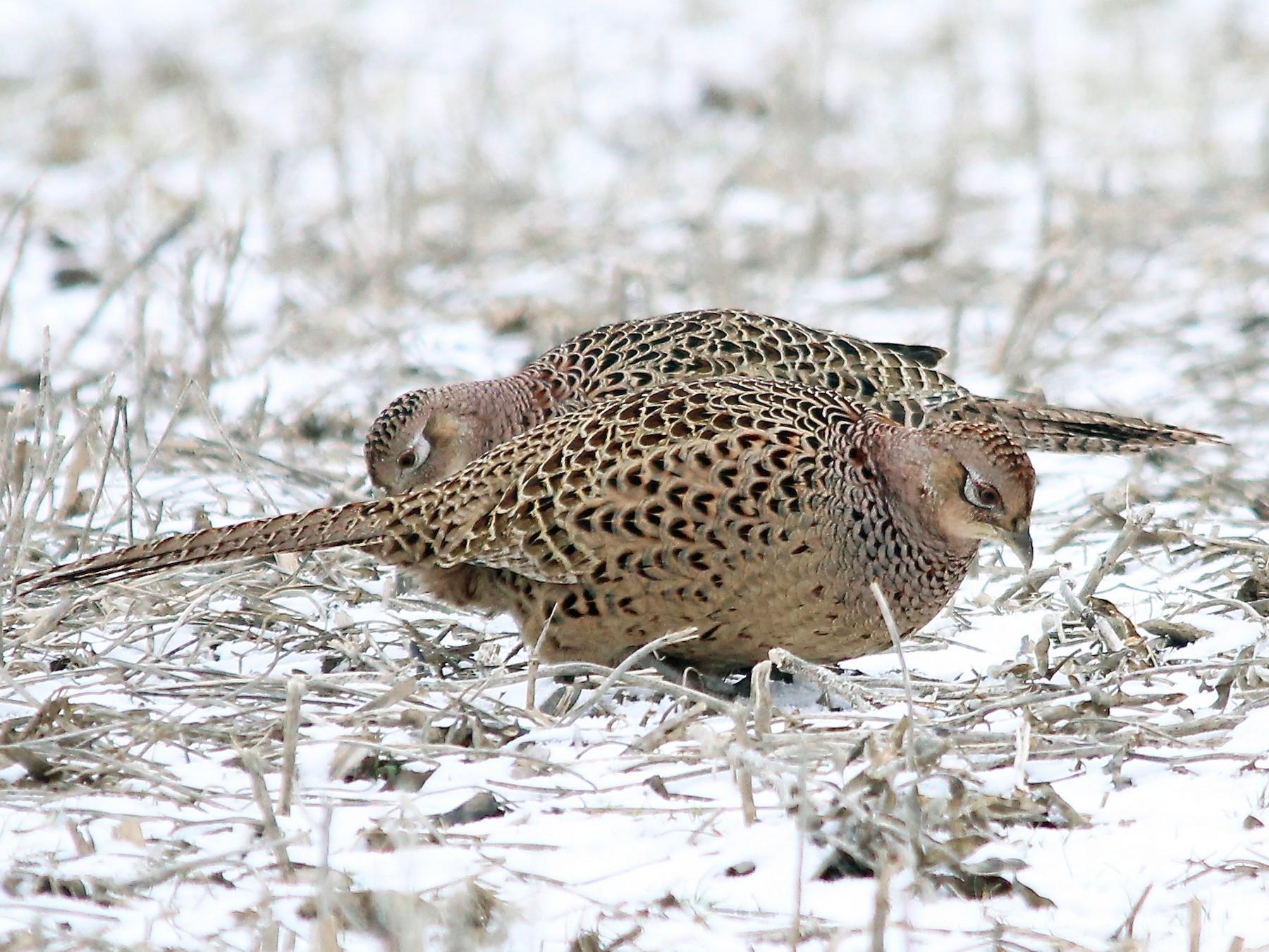 Ring-necked Pheasant - Benjamin Hack