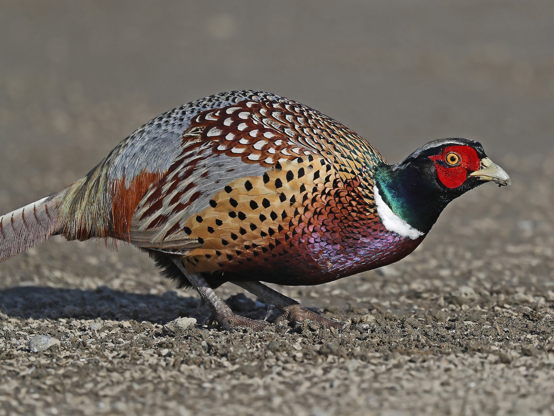 Ring-necked Pheasant - Matt Davis