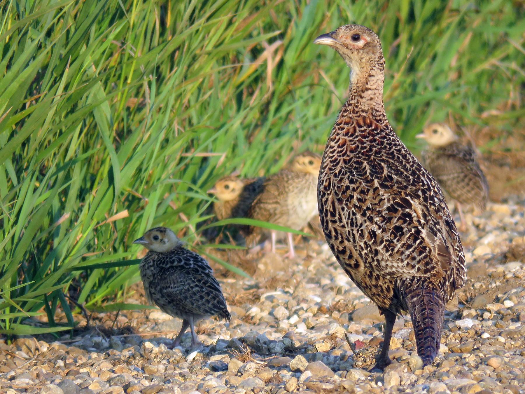 Ring-necked Pheasant - Kelly Preheim