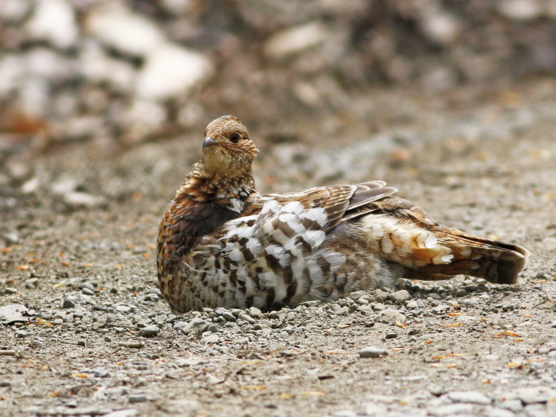Ruffed Grouse - David Weber