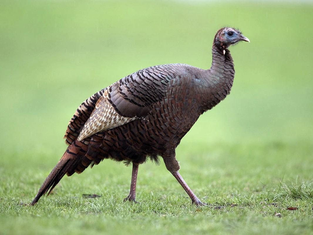 Wild Turkey - D. Bruce Yolton