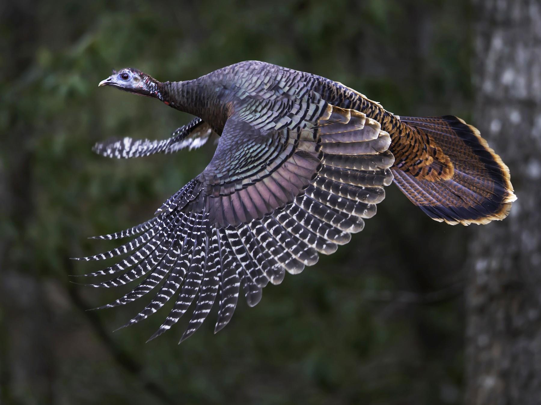 Wild Turkey - David Turko