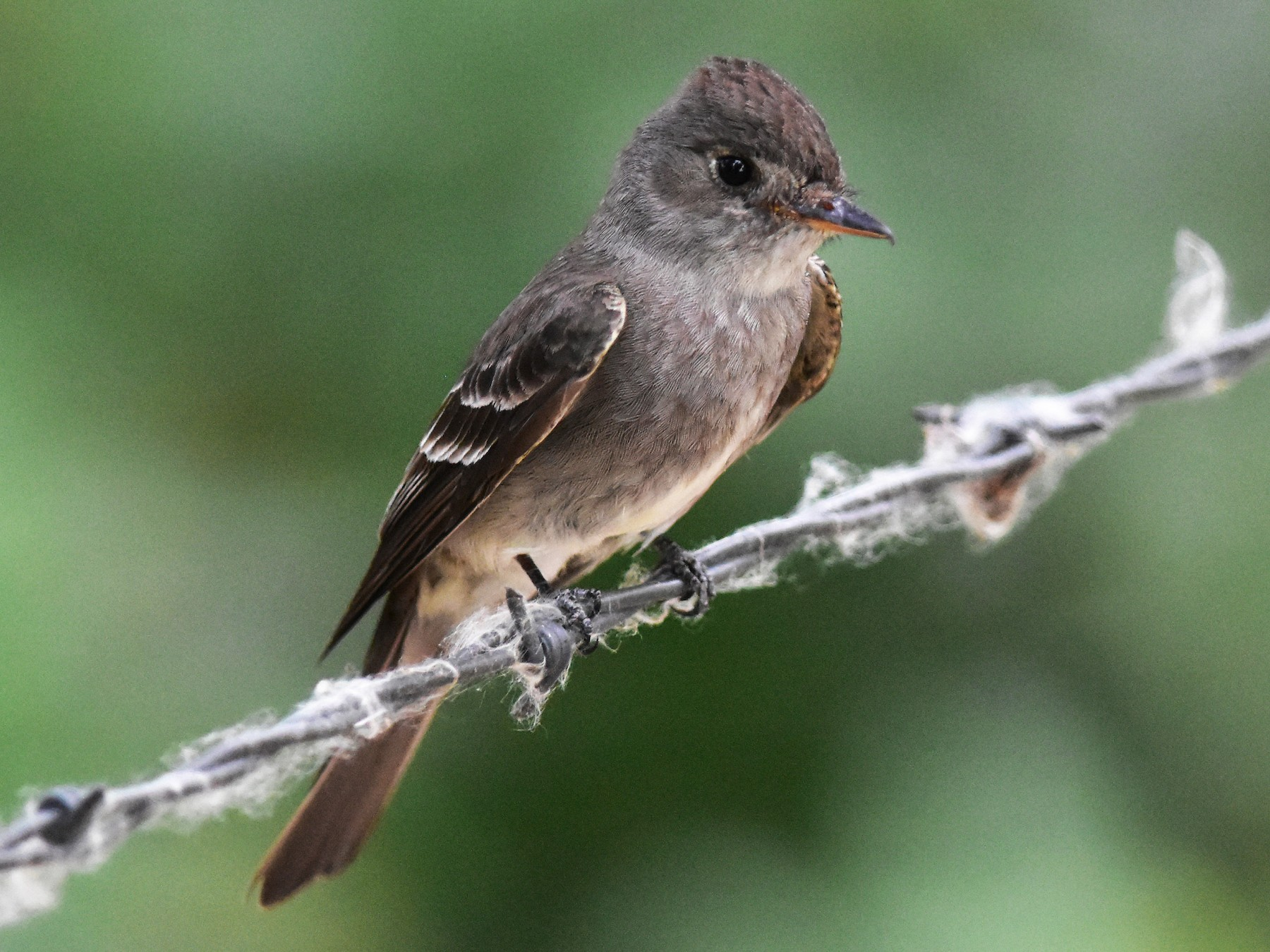 Western Wood-Pewee - Donel Jensen