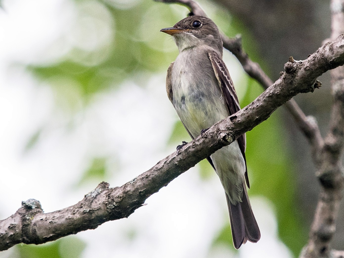 Eastern Wood-Pewee - Graham Gerdeman