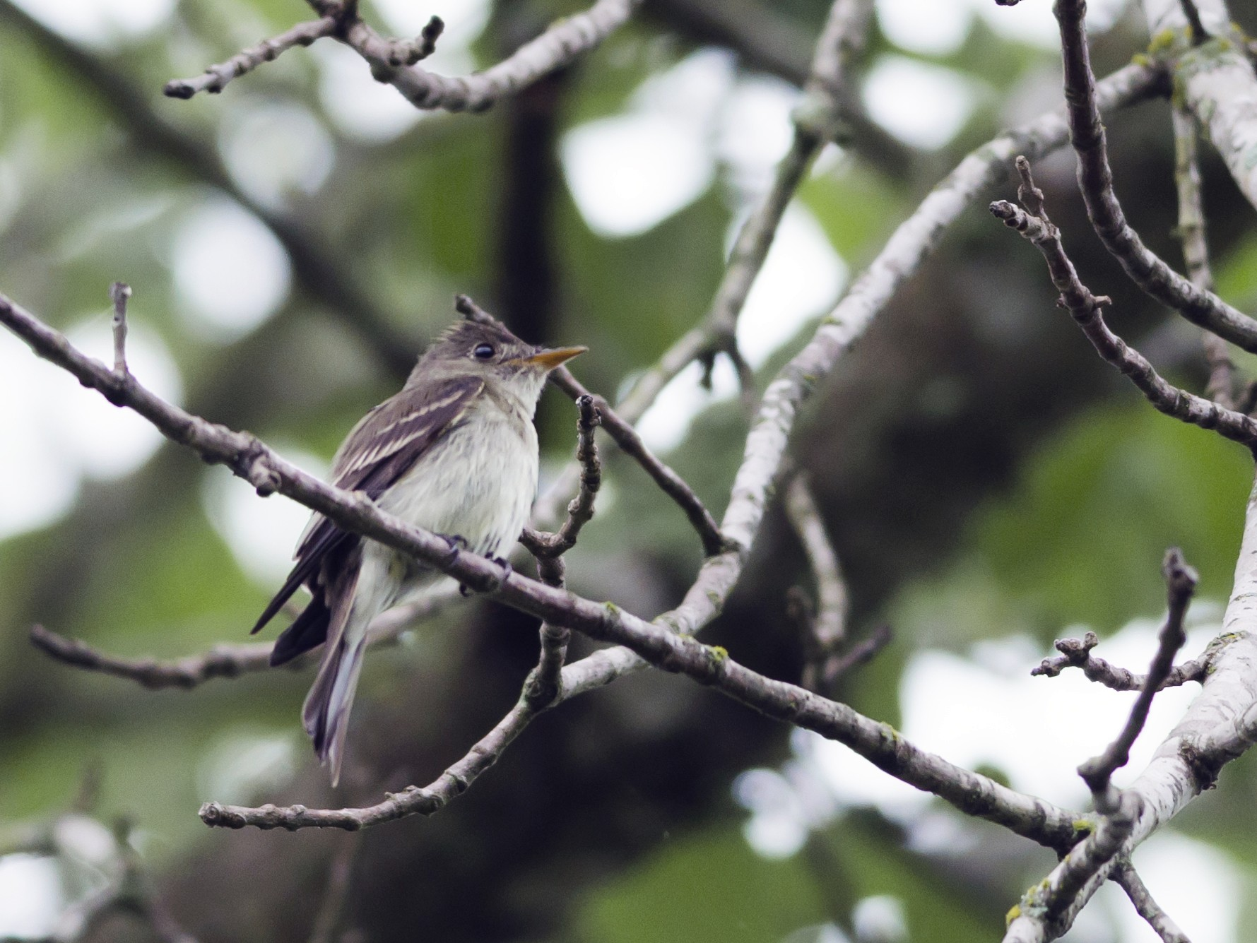 Eastern Wood-Pewee - Neil Diaz
