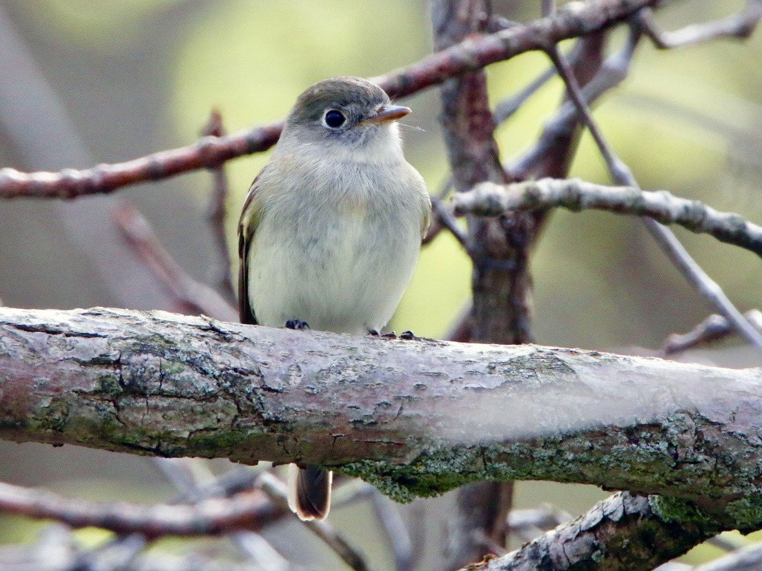 Least Flycatcher - Richard Skevington
